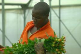 «Брексит» винят в падении продаж цветов в Кении