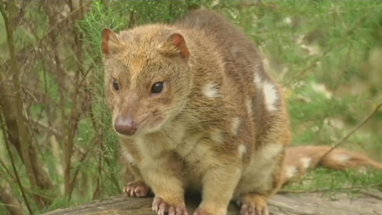 Сумчатых куниц пытаются сохранить в Австралии