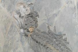 В Мексике показали скелет неизвестной доисторической рептилии