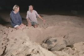 Популяцию редких черепах успешно сохраняют в Австралии