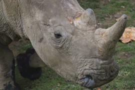 В зоопарке Франции браконьеры убили носорога