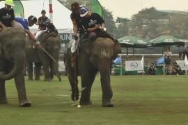 Тайские слоны играют в поло, чтобы помочь собратьям