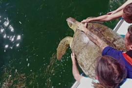 Спасённую морскую черепаху вернули в дикую природу