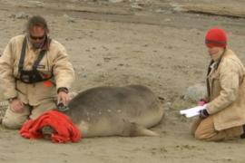 Морские слоны помогут изучать три океана