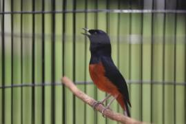 Конкурсы певчих птиц – популярное увлечение в Индонезии