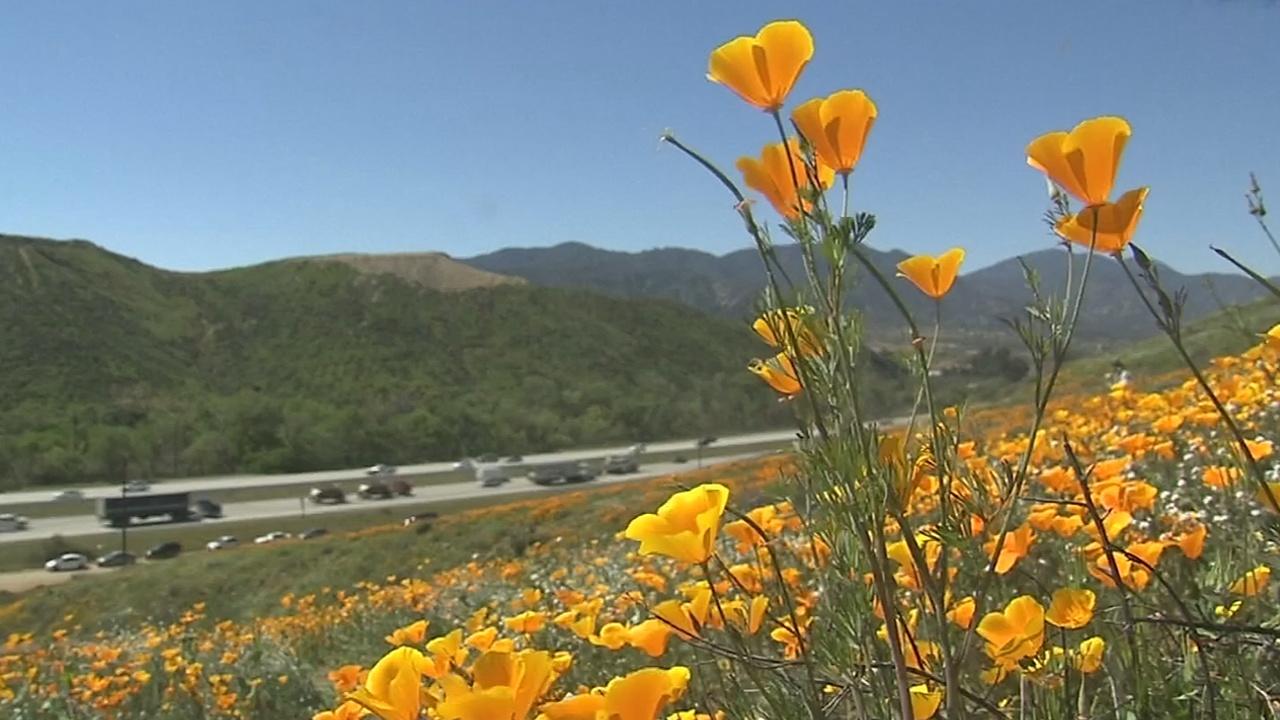 Калифорнийский мак бурно цветёт после дождливой зимы