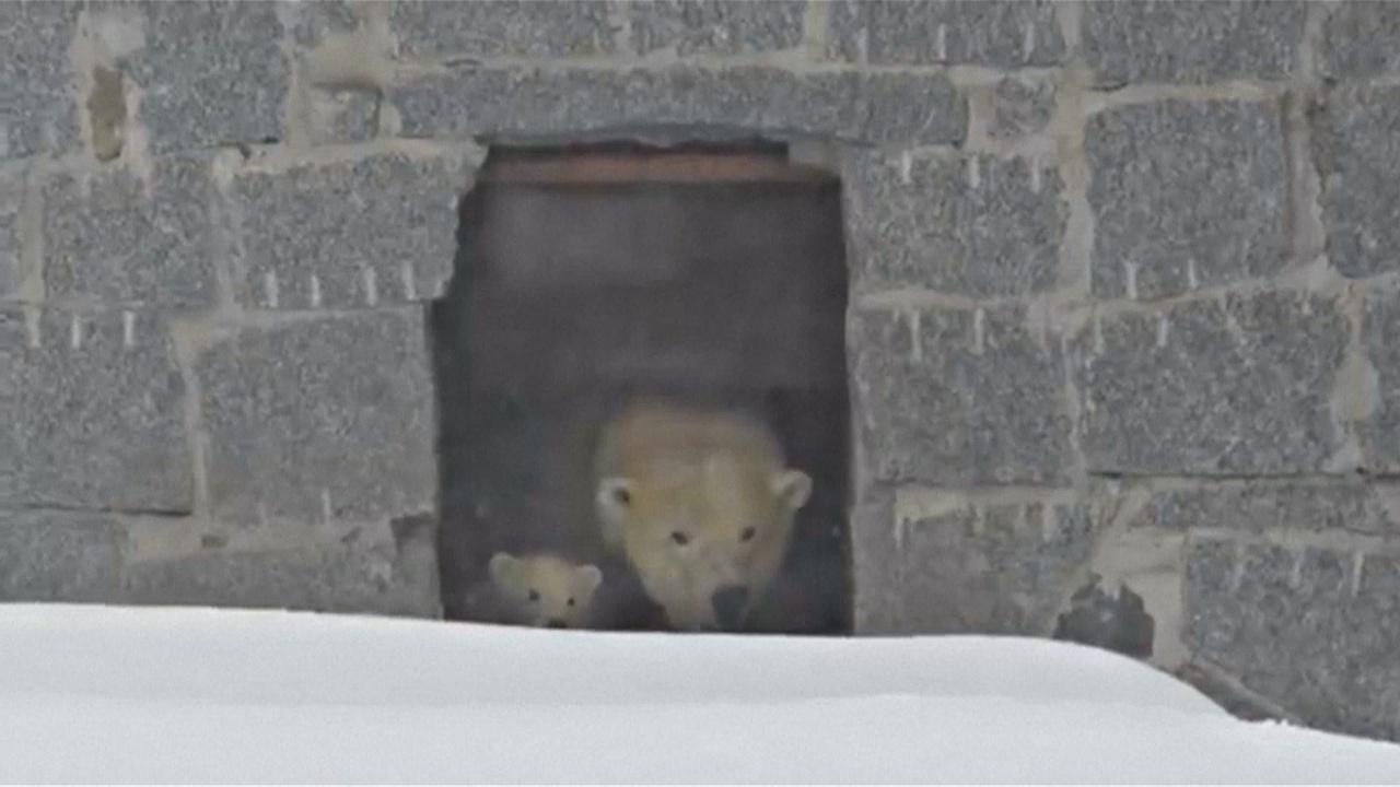 Финляндия: белый медвежонок впервые вышел из логова