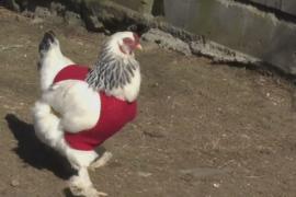 Свитера для кур: птиц спасают от холода