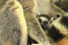 Самка кошачьего лемура принесла двойню в зоопарке Вены