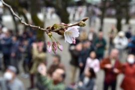 В Токио заметили первые цветы сакуры