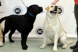 Лабрадор-ретривер – самая популярная собака в США более 25 лет