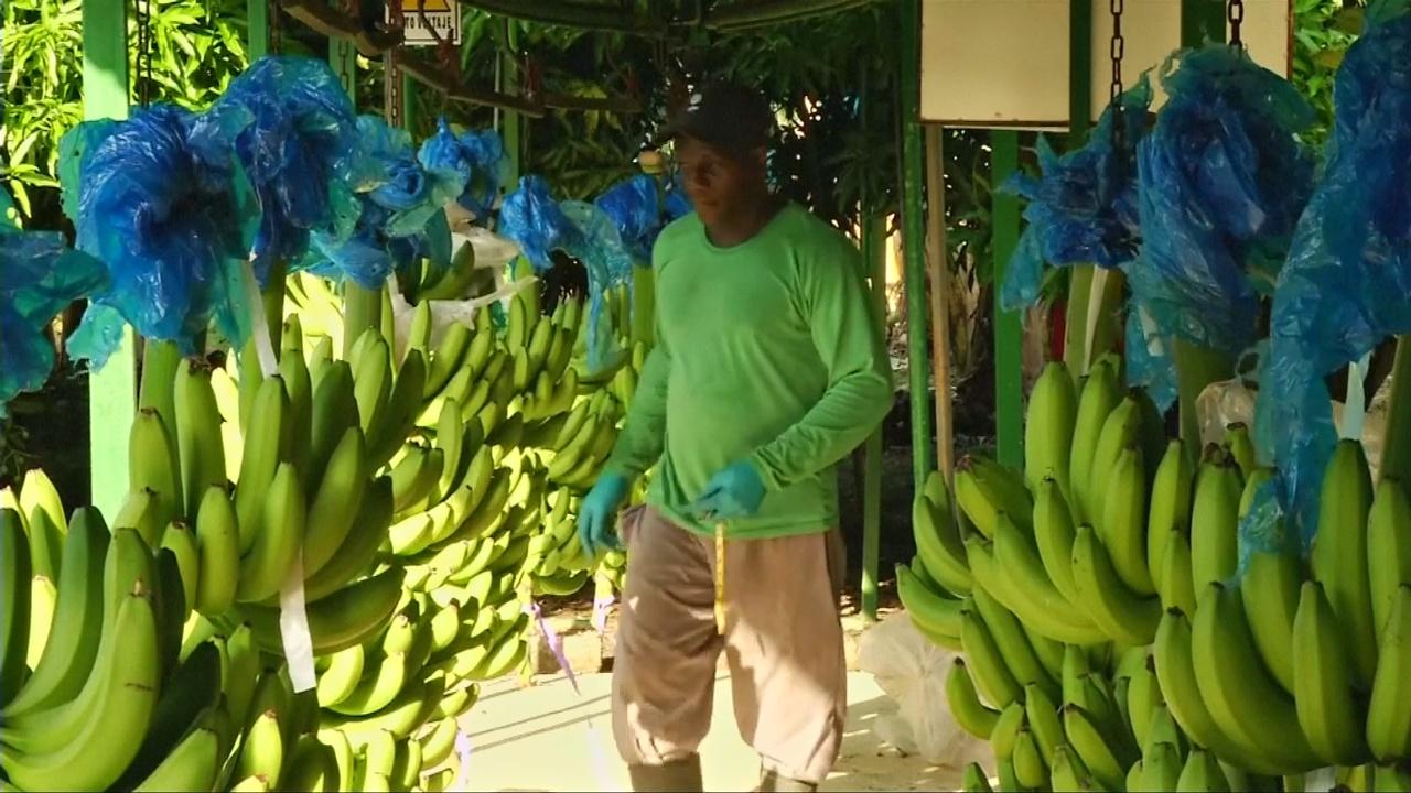 Банановая отрасль Колумбии надеется увеличить экспорт