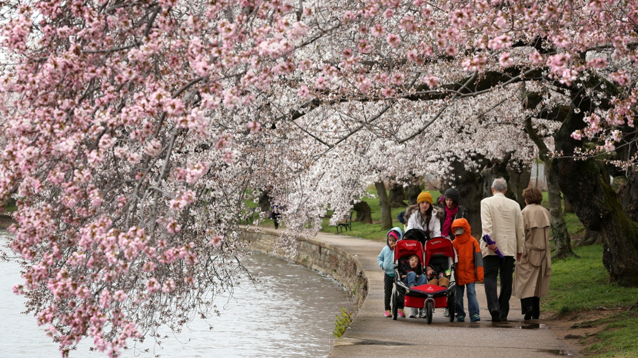 В Вашингтоне цветёт сакура