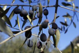 Истрию признали регионом, где производят лучшее оливковое масло
