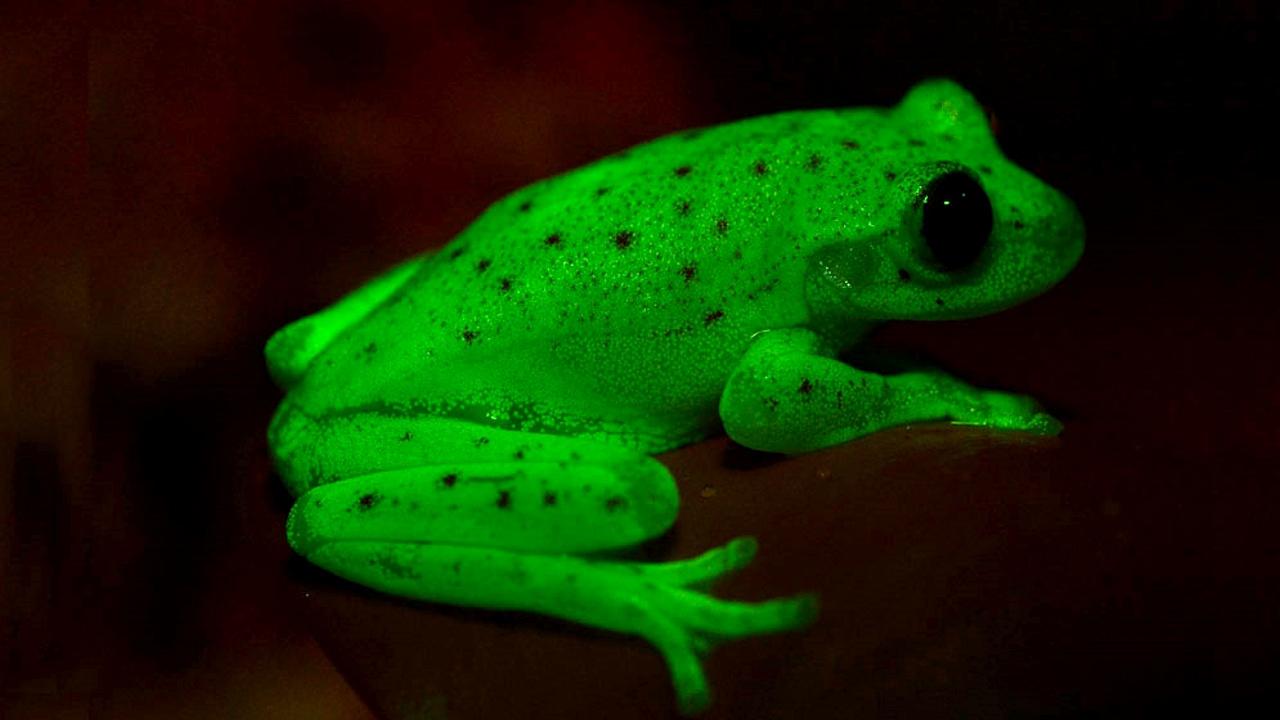 В Аргентине нашли первую в мире флуоресцентную лягушку