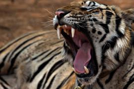 Редких индокитайских тигров в Таиланде стало больше