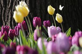 В Италии появилось первое тюльпановое поле