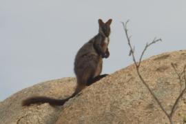 В Австралии успешно разводят почти вымерших валлаби