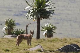 Деревни переселяют, чтобы спасти горного волка