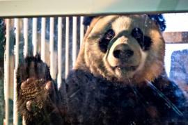 Две большие панды станут звёздами зоопарка в Нидерландах