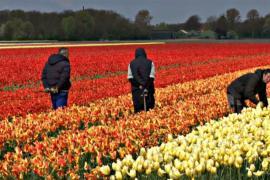 Дикие гиацинты цветут в Бельгии, а Нидерланды украсили тюльпаны