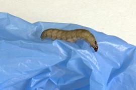 Учёные нашли гусениц, поедающих полиэтилен