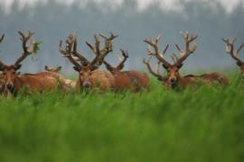 Редкие олени милу успешно размножаются в Китае