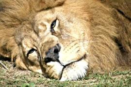 У льва, которого ранее стерилизовали, родилось потомство