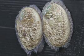 В ЮАР морское ушко выращивают на фермах