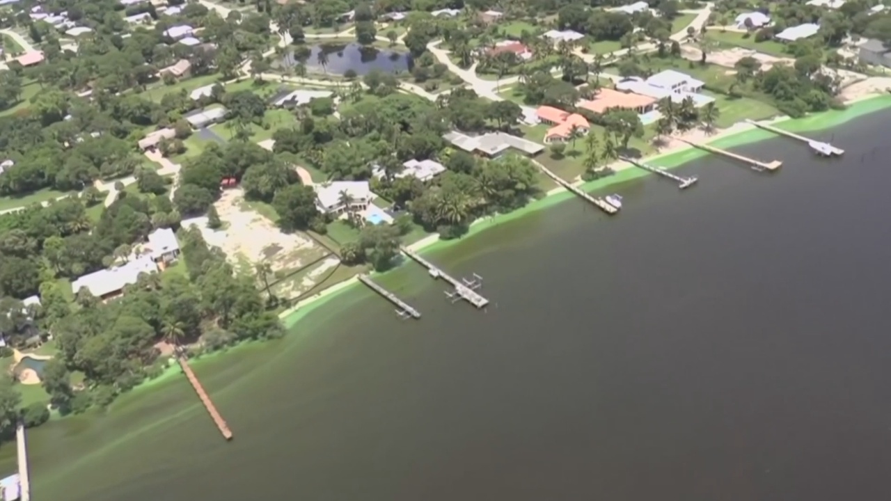 Флоридской лагуне и морской жизни угрожают водоросли
