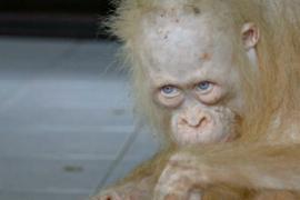 Спасённый орангутан-альбинос идёт на поправку