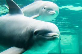 Во Франции запретили разводить дельфинов в неволе