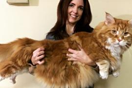 120-сантиметровый кот Омар претендует на рекорд Гиннесса