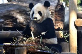 Большая панда в зоопарке Токио, возможно, беременна