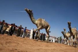 Верблюжьи скачки прошли в иорданской пустыне