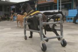 Тайванец делает коляски для собак-инвалидов