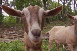 Козы спасают бруклинский парк от сорняков