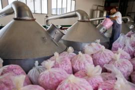 Болгария успешно производит розовое масло, несмотря на холода