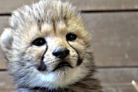 Пражский зоопарк показал 5 гепардят