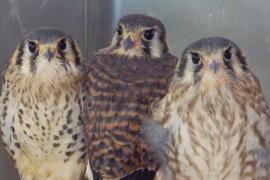 В Нью-Йорке ветлечебница спасает раненых и больных диких птиц