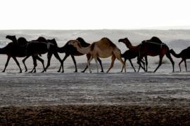 Катарских верблюдов отрезали от хозяев границей