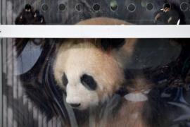 В Берлинский зоопарк прибыли две большие панды