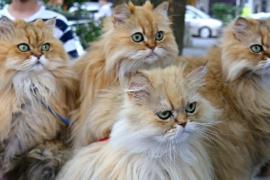 10 персидских кошек и пенсионер ездят по Японии, чтобы спасти котов