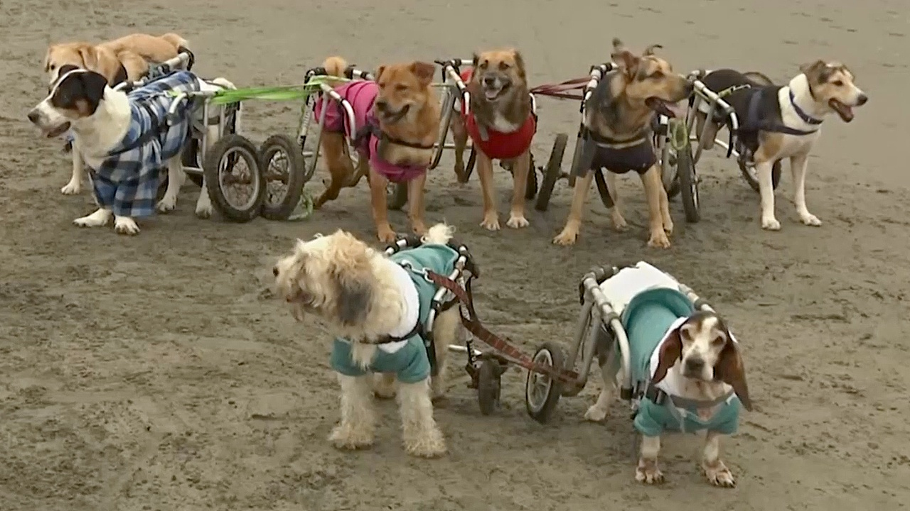 Перуанка открыла свой дом для больных и покалеченных собак