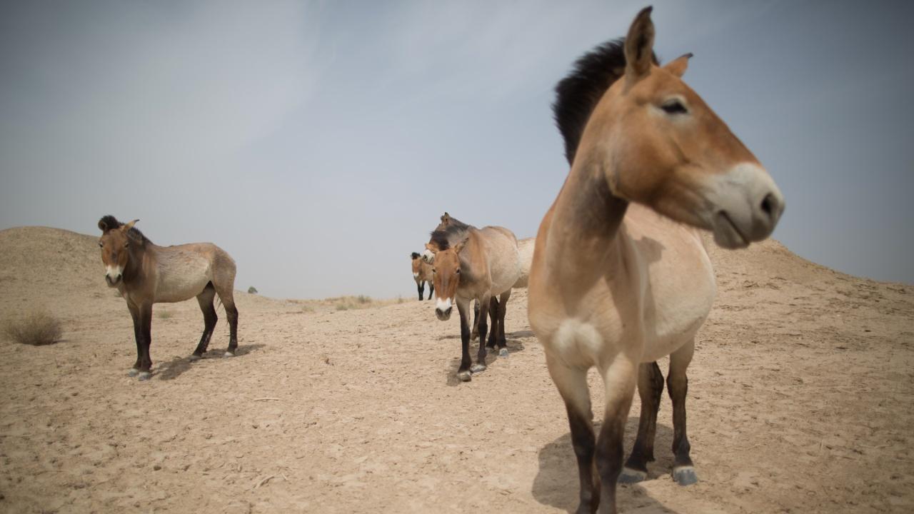 Из Праги в Монголию: дикие лошади возвращаются в степи