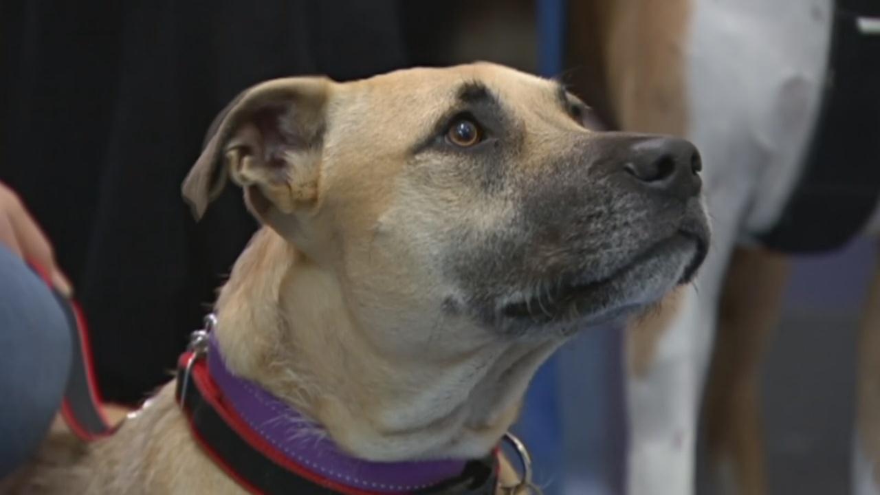 В Австралии собаки-доноры сдают кровь для собратьев