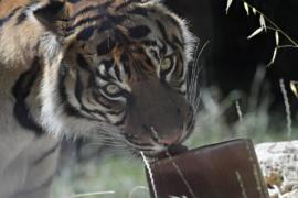 Льдом, арбузами и душем спасают от жары питомцев Пекинского зоопарка