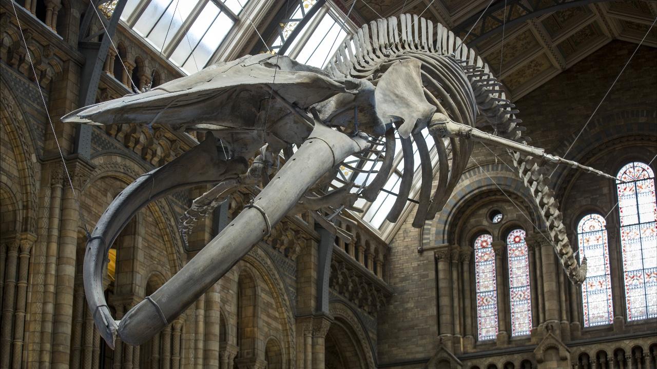 Скелет голубого кита подвесили под сводами лондонского музея