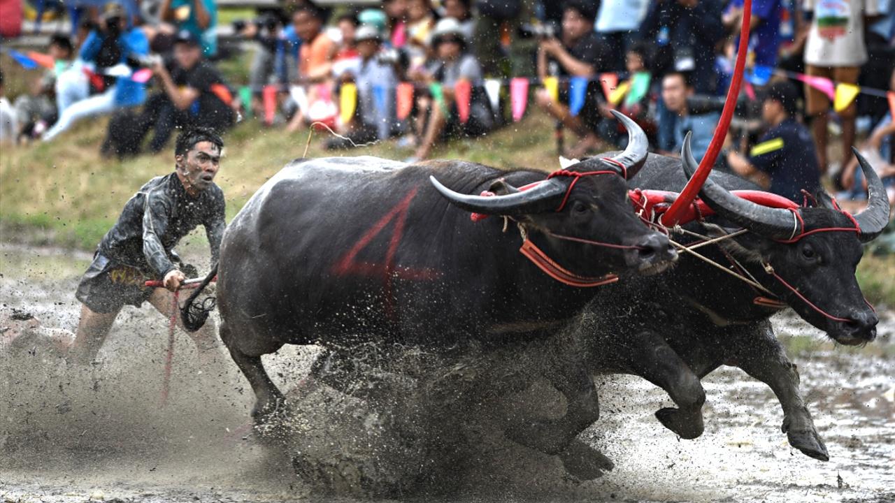 Тайские фермеры устроили гонки на буйволах