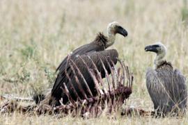 Ресторан для стервятников спасает экосистему Непала